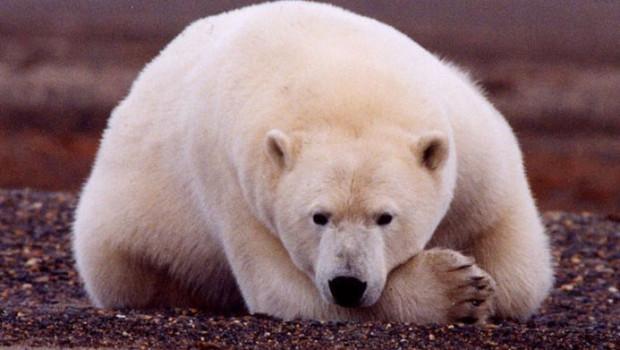 693px-Polar_Bear