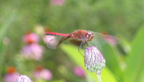 Dragonfly- garden friends