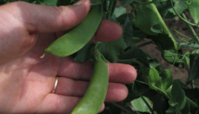 off grid living garden peas