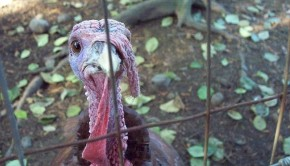 800px-Closeup_Of_A_Turkey_In_A_Cage