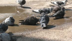 2010 heat wave pigeons