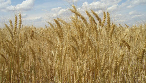 Wheat Mature