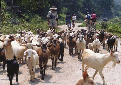 herd of goats in yangshuo china