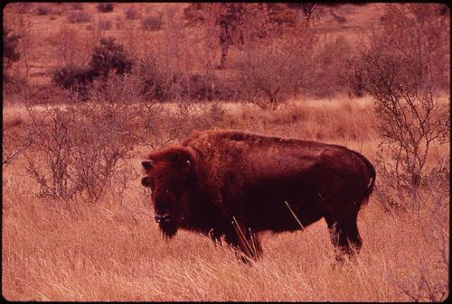 buffalo in leakey county texas