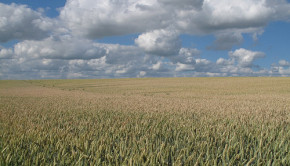 A health wheat field