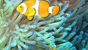 clownfish sea anemones