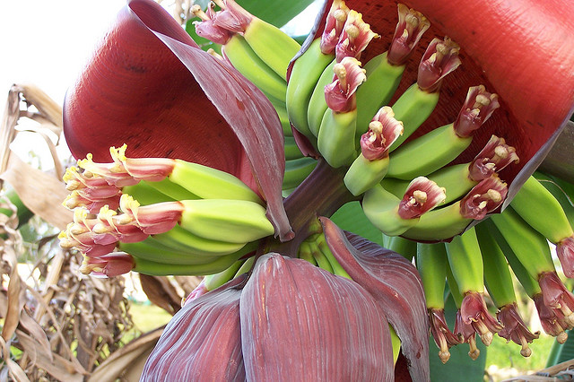 photo of banana tree