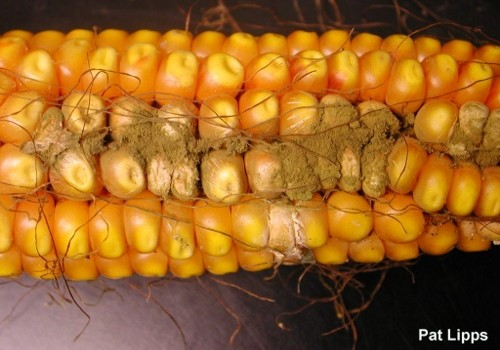 Aspergillus infected corn