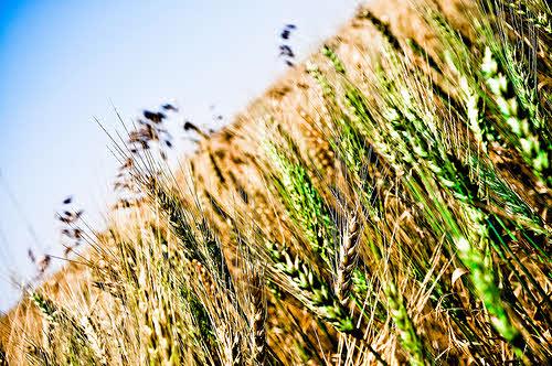 grain harvest 2011