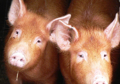 pigs top source of meat in china