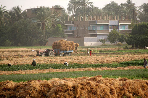 wheat farming in egypt
