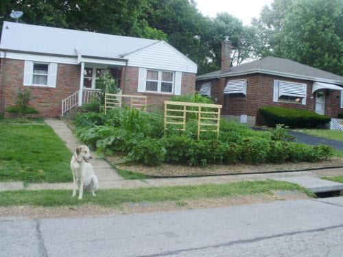 karl tricamo's front yard garden in ferguson missouri june 2012