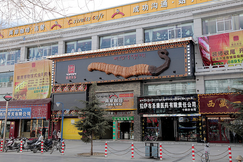 a caterpillar fungus store in tibet