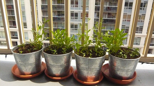 urban container garden with aluminum pots