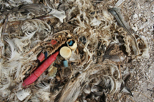 a laysan albatross chick that died from eating plastic