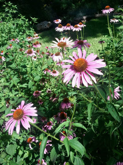 echinacea in the shaw neighborhood