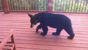bear on a deck