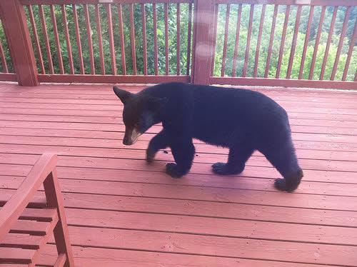 black bear on a deck