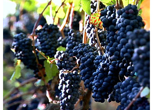 biodynamic wine grapes