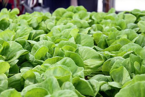 hydroponic garden lettuce