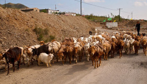 goat herd in china