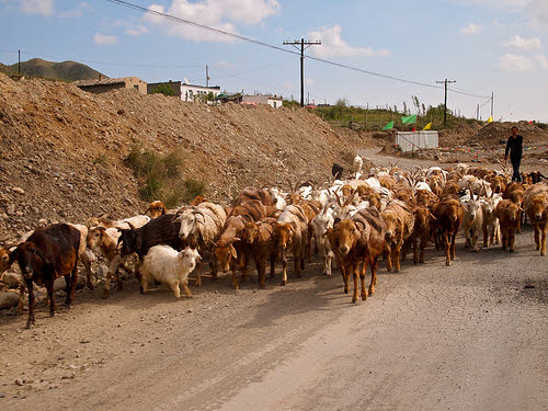 goat herd in xinjiang china