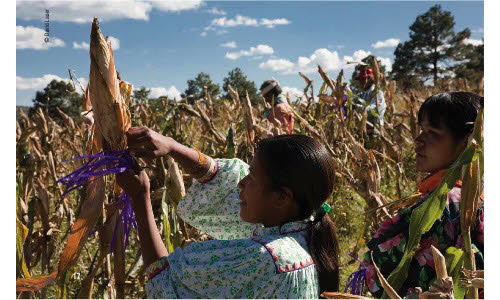 women harvesting corn