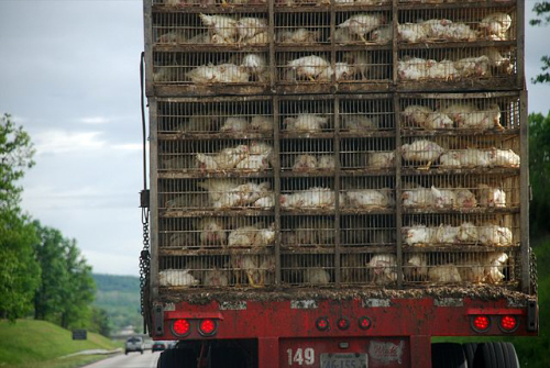 truck carrying chickens for nuggets