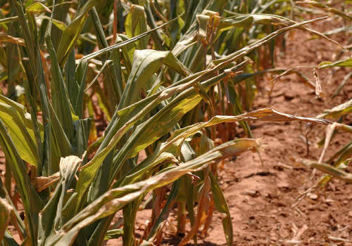 corn suffering from high temperatures
