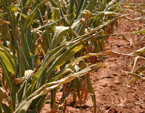 corn plants suffering from high temperatures