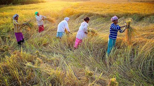 assam india harvest