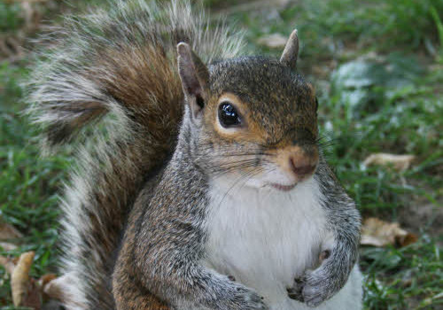 Common_Squirrel