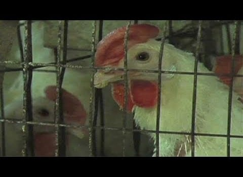 Chicken Welfare Agreement with Egg Industry a Missed Media Opportunity