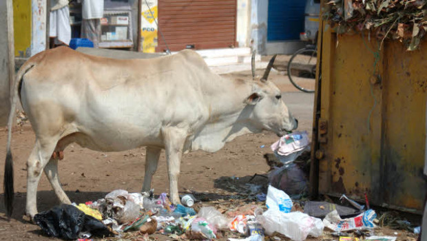 plastic trash and brahmin cow
