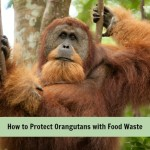 palm oil made from food waste can help protect orangutans